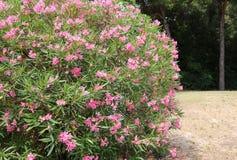 Beautiful oleander flower in the garden Stock Image