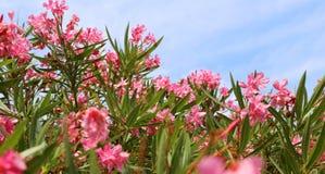 Beautiful oleander flower in summer Royalty Free Stock Photo
