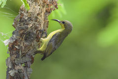 Beautiful (Olive-backed Sunbird) Bird nesting Royalty Free Stock Photo