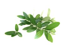 Beautiful olive branches Royalty Free Stock Photo