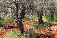 Beautiful Olive Grove in rich red soil Stock Images