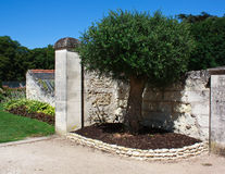 Beautiful olive tree Royalty Free Stock Photos