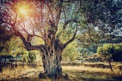 Beautiful olive tree Royalty Free Stock Image