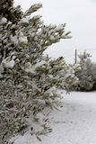 Beautiful olive tree covered in snow in winter. royalty free stock photo