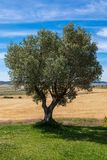 Beautiful olive tree tree on sunny day blue sky and wheat field. With plenty royalty free stock images