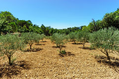 Beautiful olive trees in Provence, France Royalty Free Stock Image