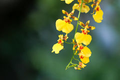 Beautiful Oncidium orchid flower in garden. Beautiful yellow Oncidium orchid flower in garden royalty free stock image
