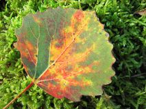 Colorful autumn leaf on moss, Lithuania Royalty Free Stock Photos
