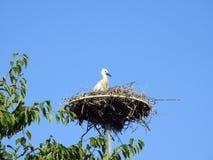 Little stork bird in nest, Lithuania stock photography