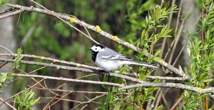 Wagtail bird rest on bush branch, Lithuania Royalty Free Stock Photos