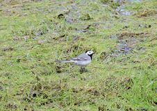 Wagtail bird on spring grass, Lithuania Royalty Free Stock Photos