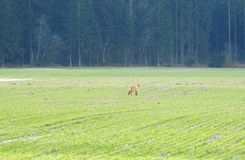 Wild fox in field near forest, Lithuania. Beautiful one wild fox with nice fur in field Royalty Free Stock Image