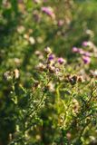 Beautiful onopordum - green prickly weed on sunset.  royalty free stock photo