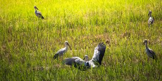 Beautiful open-bill stork bird walking around the rice field and watching for shell food on the field. Group of Open-bill stork birds walking and looking for royalty free stock photography