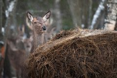 Beautiful Open-Eyed Female Deer Chews A Dry Yellow Straw And Hides Behind A Stack Of Hay During A Winter Snowfall. stock image