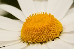 Beautiful chamomile, close-up. Beautiful open flower of decorative camomile, macro royalty free stock image