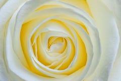 Beautiful open flower white rose macro Stock Photos