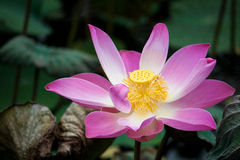 Beautiful open lotus flower. Close up shot of a beautiful and colorful lotus flower Royalty Free Stock Image