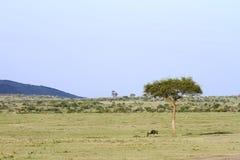 Beautiful open savanna of Masai Mara and a wild wildebeest near the tree Stock Photography