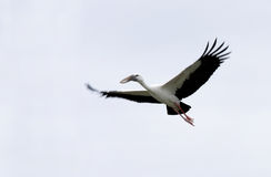 A beautiful Openbill stork flying Stock Image