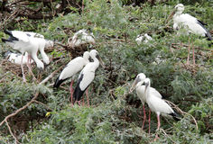 Beautiful Openbill storks resting in pair Stock Image