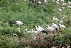Beautiful Openbill Storks standing on the tree Stock Photography