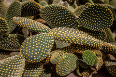 Beautiful opuntia cactus leaves background and texture. Abstract and artistic background stock images