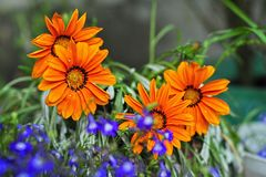 Beautiful orang flowers. Gerbera, chamomile Royalty Free Stock Photography