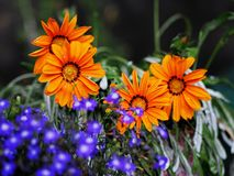Beautiful orang flowers. Gerbera, chamomile Stock Photography