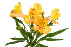 Beautiful orange alstroemeria Stock Photography
