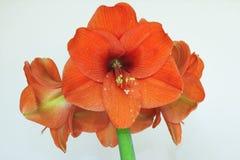 Beautiful orange Amaryllis flower Stock Image