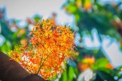 Beautiful orange asoka tree flowers (Saraca indica) on tree with green leaves background. Saraca indica, alsoknown as asoka-tree,. Ashok or Asoca, saraca stock image