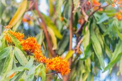 Beautiful orange asoka tree flowers (Saraca indica) on tree with green leaves background. Saraca indica, alsoknown as asoka-tree, royalty free stock photo