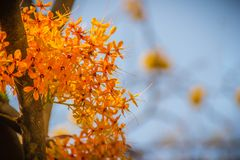Beautiful orange asoka tree flowers (Saraca indica) on tree with green leaves background. Saraca indica, alsoknown as asoka-tree,. Ashok or Asoca, saraca royalty free stock photography