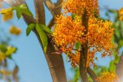 Beautiful orange asoka tree flowers (Saraca indica) on tree with green leaves background. Saraca indica, alsoknown as asoka-tree,. Ashok or Asoca, saraca royalty free stock photo