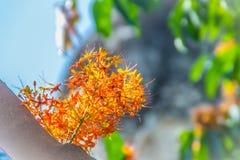 Beautiful orange asoka tree flowers (Saraca indica) on tree with green leaves background. Saraca indica, alsoknown as asoka-tree,. Ashok or Asoca, saraca stock photo