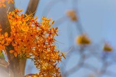 Beautiful orange asoka tree flowers (Saraca indica) on tree with green leaves background. Saraca indica, alsoknown as asoka-tree,. Ashok or Asoca, saraca stock images