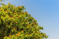Beautiful orange asoka tree flowers (Saraca indica) on tree with green leaves background. Saraca indica, alsoknown as asoka-tree,. Ashok or Asoca, saraca stock photos