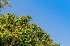 Beautiful orange asoka tree flowers (Saraca indica) on tree with green leaves background. Saraca indica, alsoknown as asoka-tree,. Ashok or Asoca, saraca stock photography