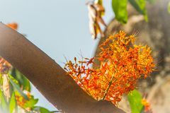 Beautiful orange asoka tree flowers (Saraca indica) on tree with green leaves background. Saraca indica, alsoknown as asoka-tree, royalty free stock photography