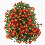 Beautiful orange autumn chrysanthemums isolated on Stock Photography