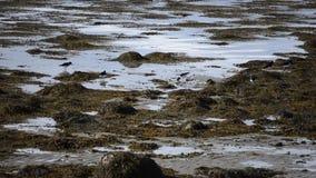 Beautiful orange beak oystercatcher birds wandering on seaweed covered shore. In northern norway stock video footage