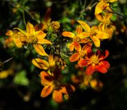 Beautiful orange bidens campfire flowers in a spring season at a botanical garden. A Beautiful orange bidens campfire flowers in a spring season at a botanical stock images