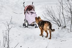 A beautiful orange big dog is with a red baby carriage in a winter snow park stock image