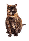 Beautiful Orange and Black Adult Cat Royalty Free Stock Photography