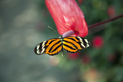 Beautiful orange and black butterfly Royalty Free Stock Images