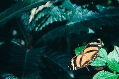 Beautiful orange and black butterfly sitting on green leaves. Tropical insect in the natural habitat royalty free stock photos