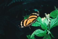 Beautiful orange and black butterfly sitting on green leaves. Tropical insect in the natural habitat stock photo