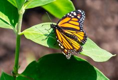 Beautiful monarch butterfly rests on a milkweed leaf. A beautiful orange and black female monarch butterfly rests on the leaf of a milkweed plant royalty free stock images