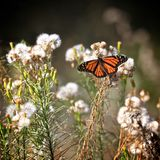Monarch butterfly dried flowers. Beautiful orange and black monarch butterfly feasting on dried white cottony field flowers royalty free stock photography